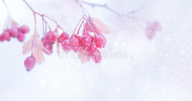 Winter tender magic forest tale. Pink and purple bright berries in a snowy park. Winter and autumn concept. Free space for text royalty free stock images