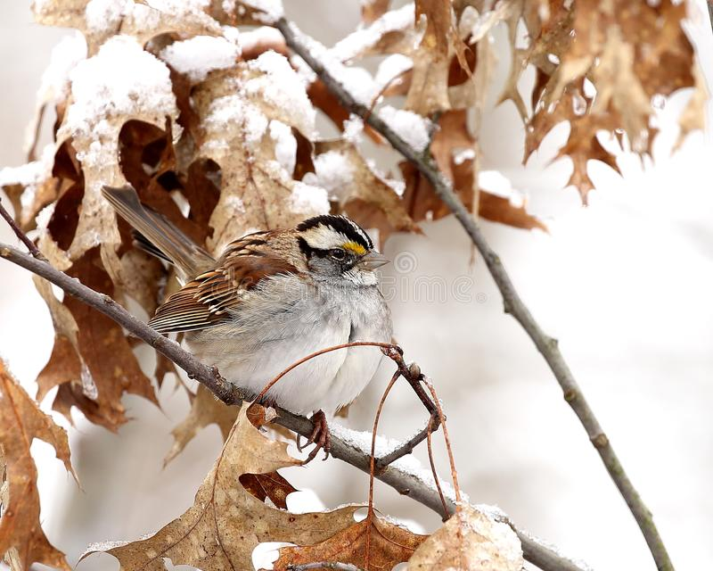 Winter-time white-throated sparrow royalty free stock photography