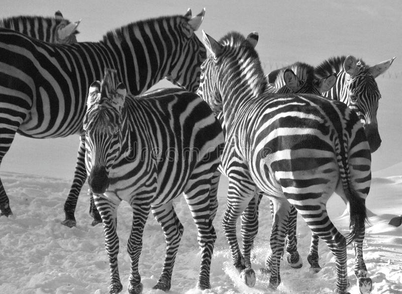 Winter time Zebras. Are several species of African equids horse family united by their distinctive black and white stripes. Their stripes come in different royalty free stock photo