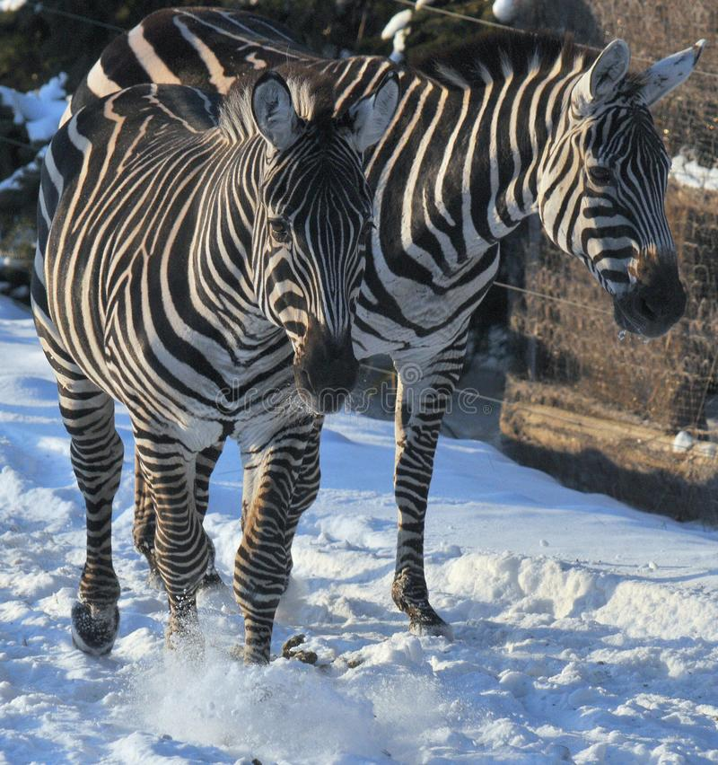 Winter time Zebras. Are several species of African equids horse family united by their distinctive black and white stripes. Their stripes come in different stock image