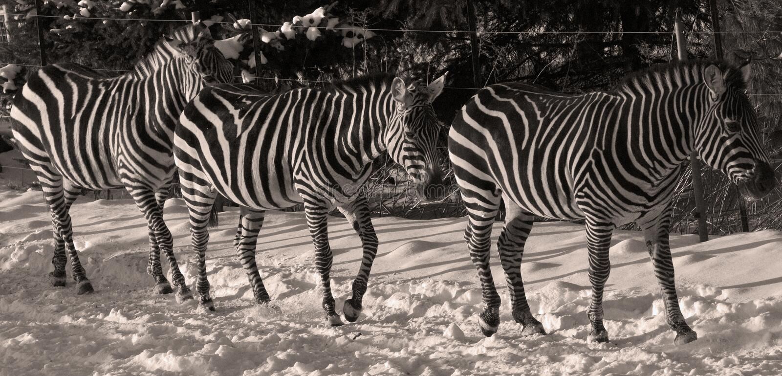 Winter time Zebras stock images