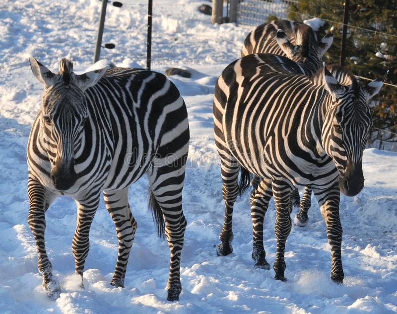 Winter time Zebras royalty free stock photos