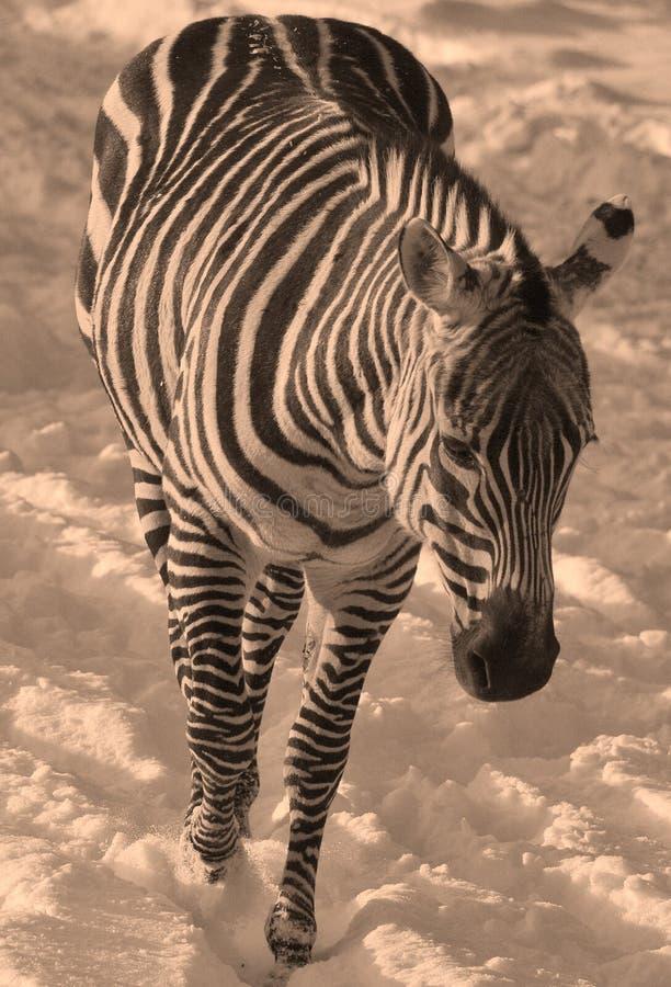 Winter time Zebras royalty free stock image