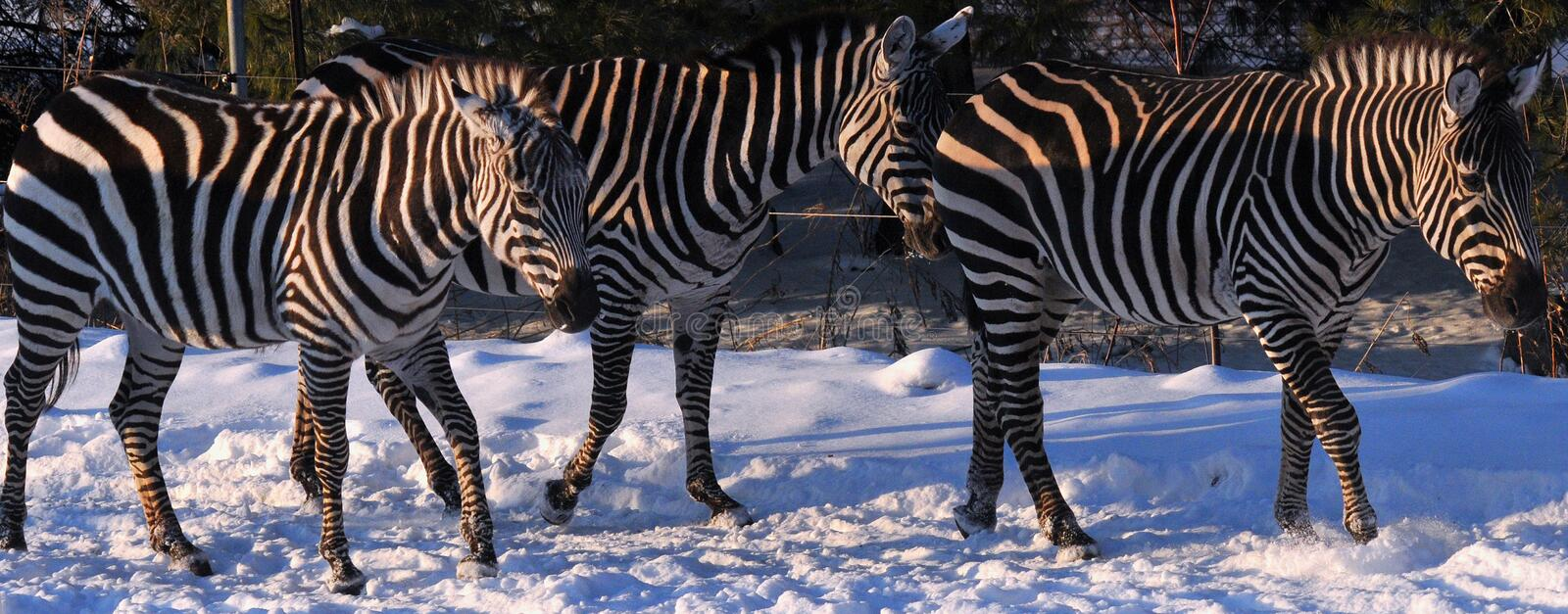 Winter time Zebras stock photo