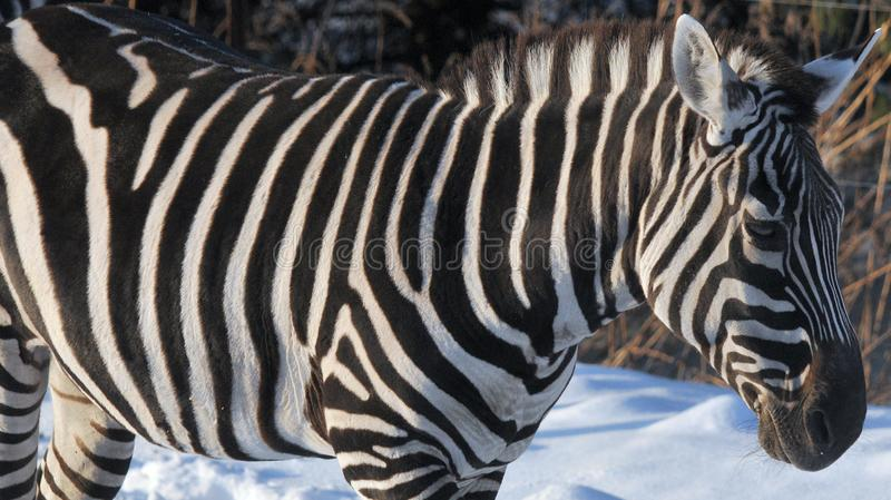 Winter time Zebras. Are several species of African equids horse family united by their distinctive black and white stripes. Their stripes come in different royalty free stock photography