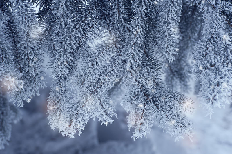 Winter toned in blue background with green christmas pine tree. Branch in snow and ice (selective focus royalty free stock photos
