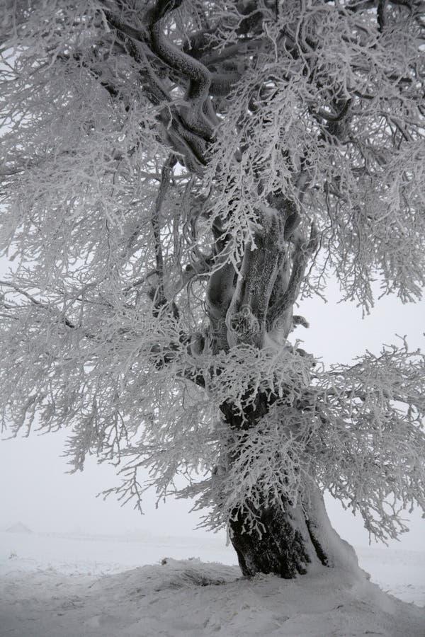 Winter tree. Snowy tree in the fog, Cinovec CZ royalty free stock photo