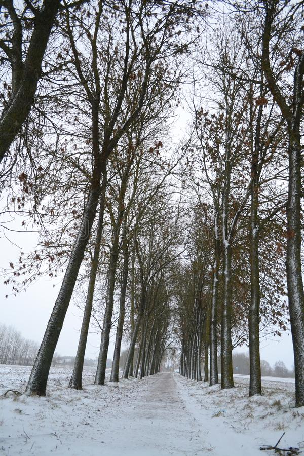 Winter tree alley in black and white, russian snowy winter. Winter season background. Vertical image. Winter tree alley in black and white, russian snowy winter royalty free stock photo