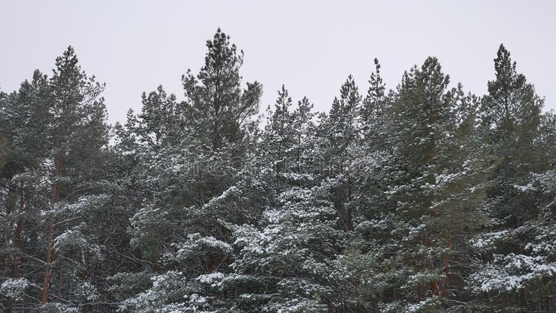 Winter tree tops in the snow winter forest nature landscape beautiful christmas tree background. Winter tree tops in the snow winter forest nature landscape royalty free stock photos