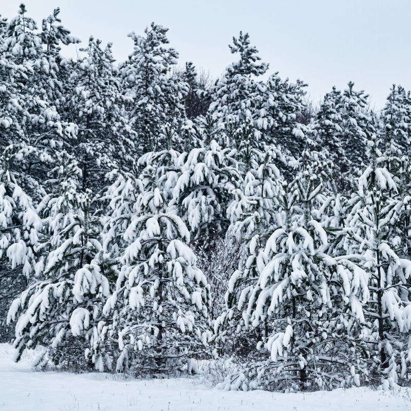 Download Winter trees stock image. Image of holiday, cool, park - 29033477