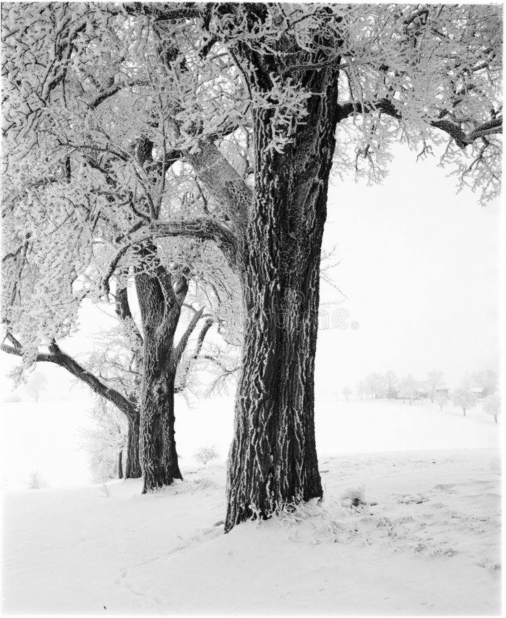 Download Winter Trees Royalty Free Stock Photos - Image: 4460398