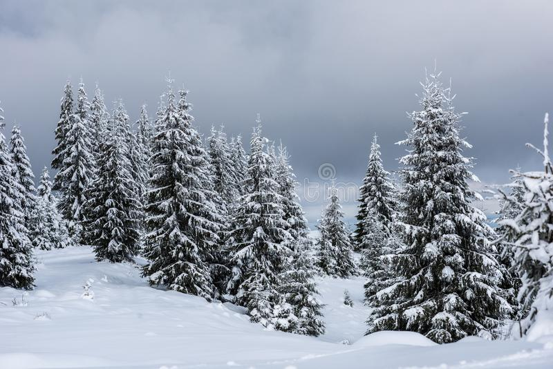 Winter trees covered with fresh snow stock image