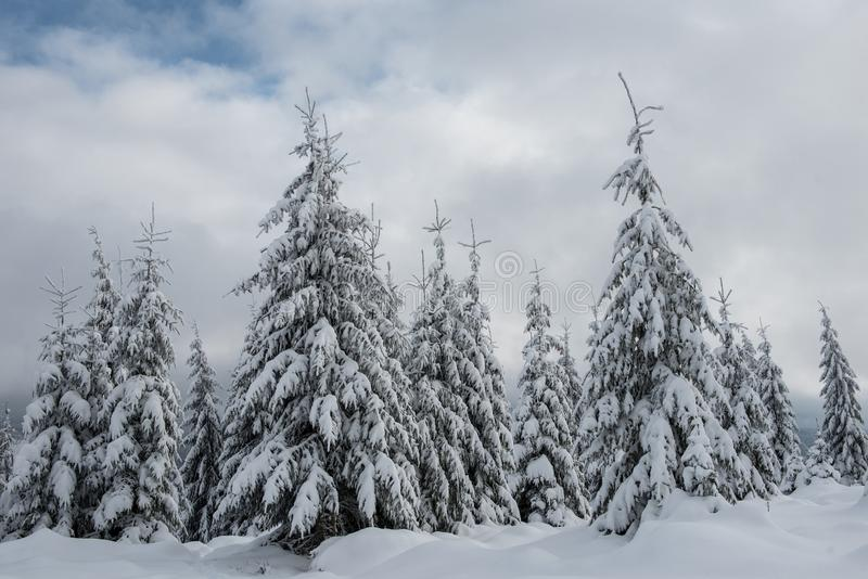 Winter trees covered with fresh snow royalty free stock photography
