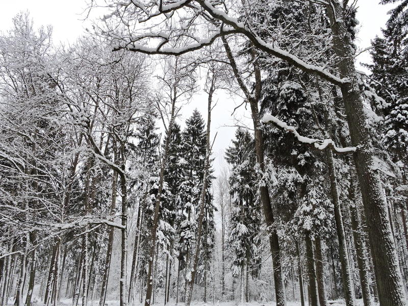 Download Winter trees , Lithuania stock photo. Image of white - 83704894