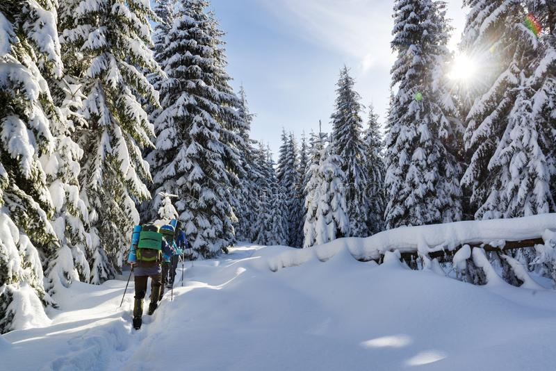 Winter trekking in a mountain forest. Unrecognizable hikers with backpacks on trekking on winter mountain forest trail, people, hiking, cold, spruce, tourism stock photos
