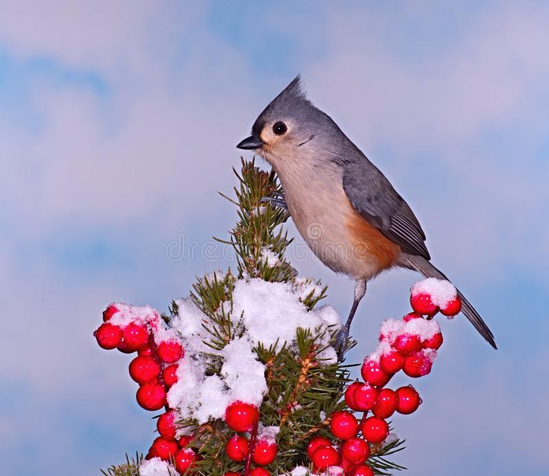 Winter Tufted Titmouse. A winter Tufted Titmouse on a festive spruce bough royalty free stock images