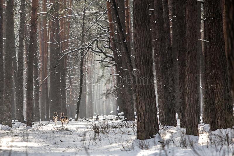 Winter uninhabited snow-covered forest. A walk in the reserve Kyiv region, Ukraine. Winter uninhabited snow-covered forest. A walk in the reserve Kyiv region royalty free stock images
