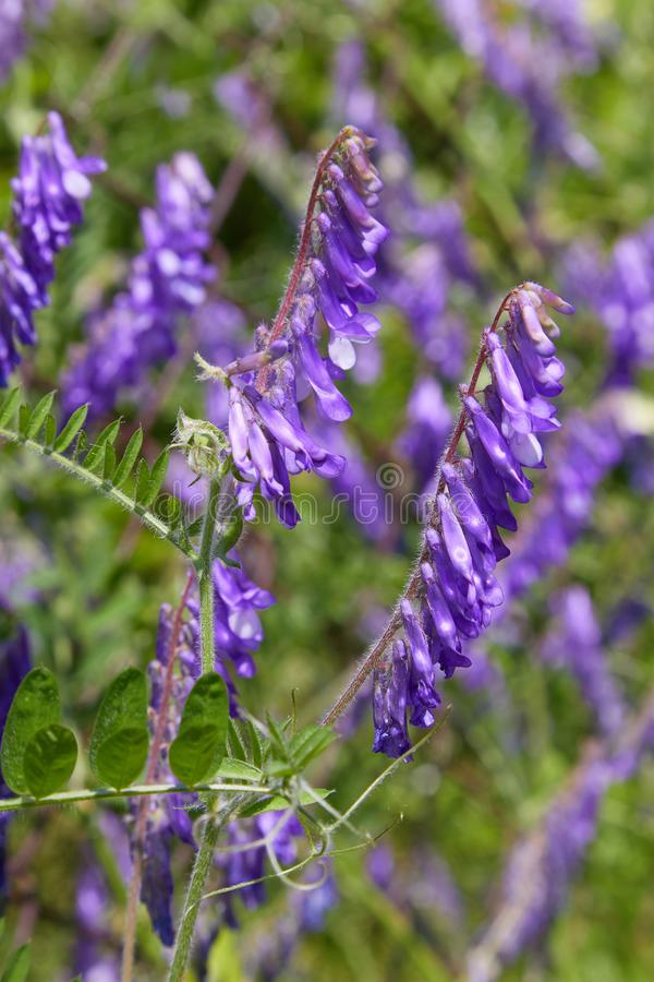 Winter vetch or hairy vetch vicia villosa growing on a hill. Purple flowers closeup ÑŽ Woolly or Fodder Vetch Vicia villos,  blossom in the garden royalty free stock photography