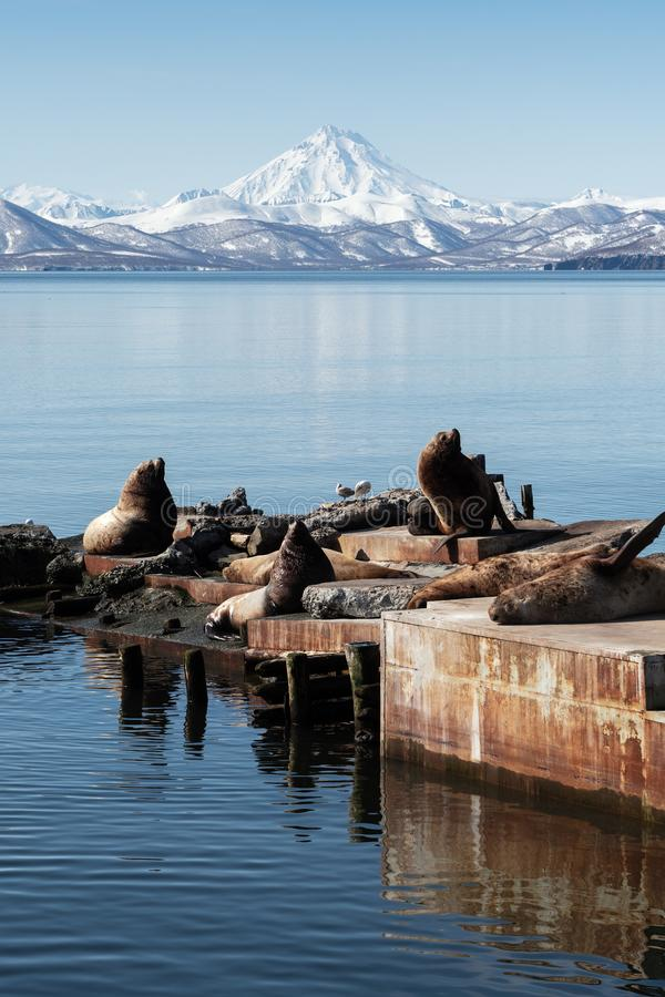 Rookery Northern Sea Lion Steller Sea Lion on Kamchatka Peninsula. Winter view of rookery Steller Sea Lion or Northern Sea Lion Eumetopias Jubatus on Pacific royalty free stock photos