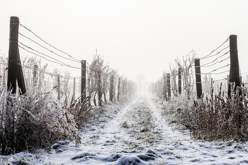 Winter vineyard. Aisle landscape format stock photos