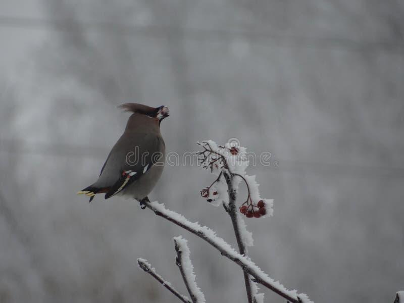Winter Vogel auf dem Baum vogel Rowan Berries stockbild
