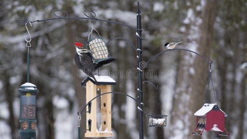 Winter-Vogel-Fütterungsstation - Pileated-Specht stockbild