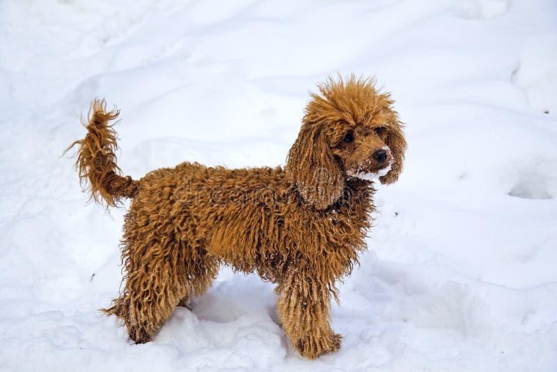 Winter. Walking red miniature poodle. Walking female junior red miniature poodle stays on a snowbank stock photos