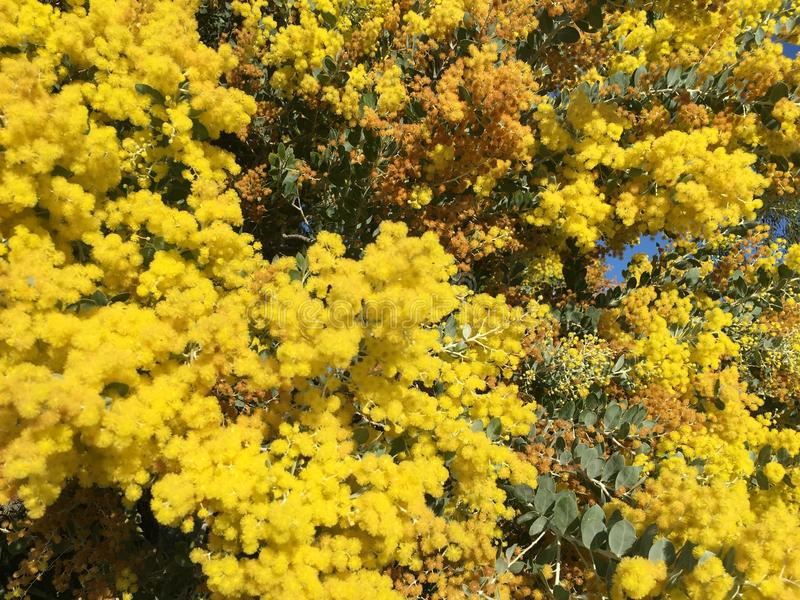 Winter Wattle royalty free stock photos