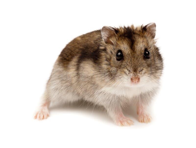 Winter-weißer russischer zwergartiger Hamster stockfoto