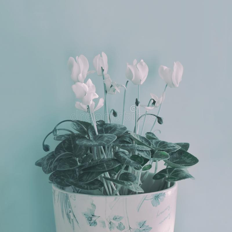Winter white Cyclamen flowers. On blue background royalty free stock photography