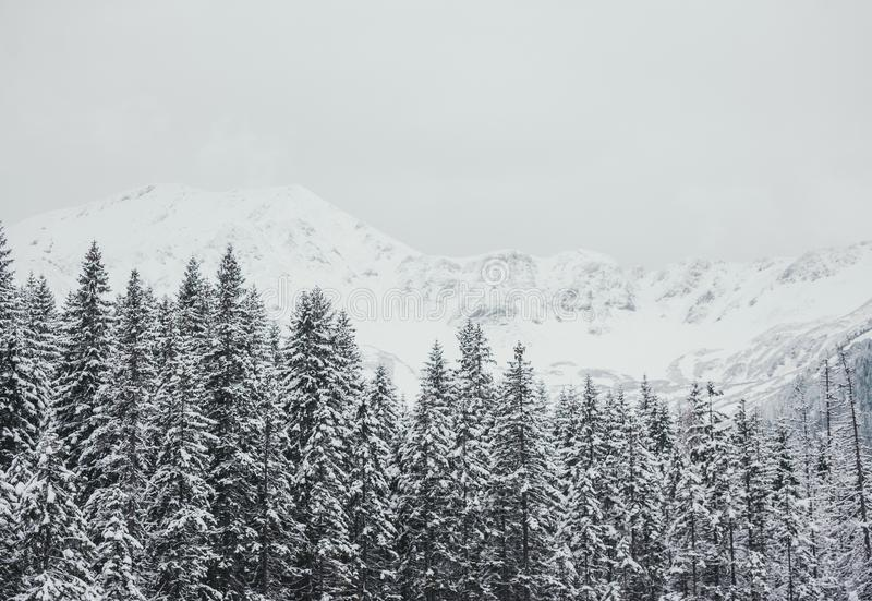 Winter white forest panorama with snow in Tatra Mountains. Panoramic beautiful winter inspirational landscape view. Winter white forest panorama with snow in stock photo