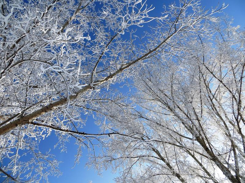 Winter white trees background blue sky. View from below view beautiful winter morning royalty free stock photos