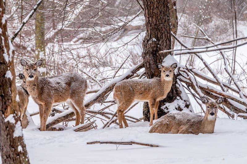 Winter Whitetail Deer royalty free stock image