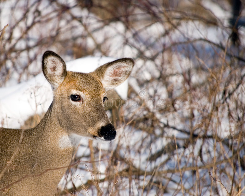Winter Whitetail Doe stock images