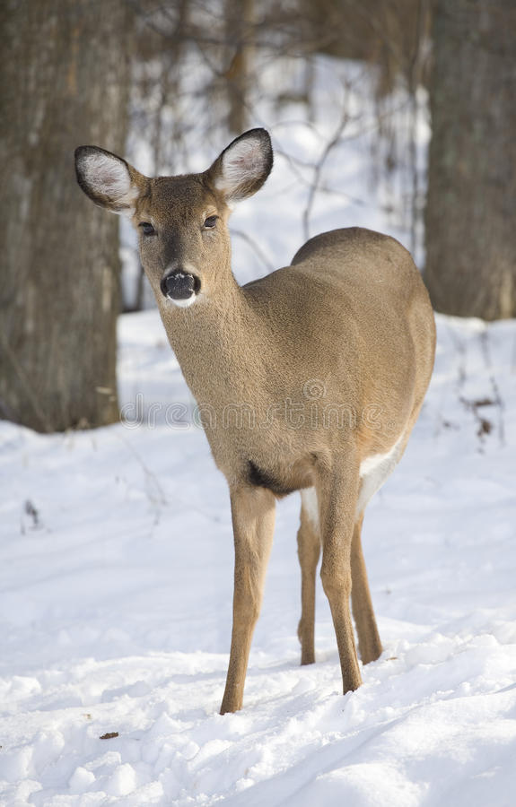 Winter wildlife royalty free stock images