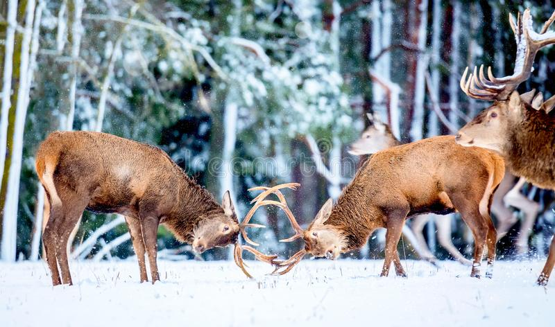 Winter wildlife animal landscape. Two young noble deers Cervus elaphus playing and fighting with their horns in snow near winter. Forest and adult noble deer stock images