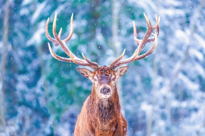 Winter wildlife landscape with noble deers Cervus Elaphus. Deer with large Horns with snow on the foreground and looking at camera stock image