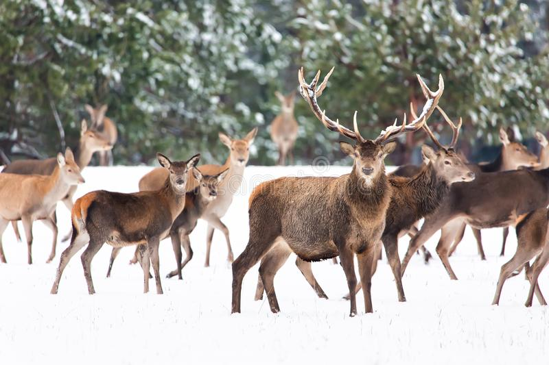 Winter wildlife landscape with noble deers Cervus Elaphus. Many deers in winter. Deer with large Horns with snow on the foreground royalty free stock photo