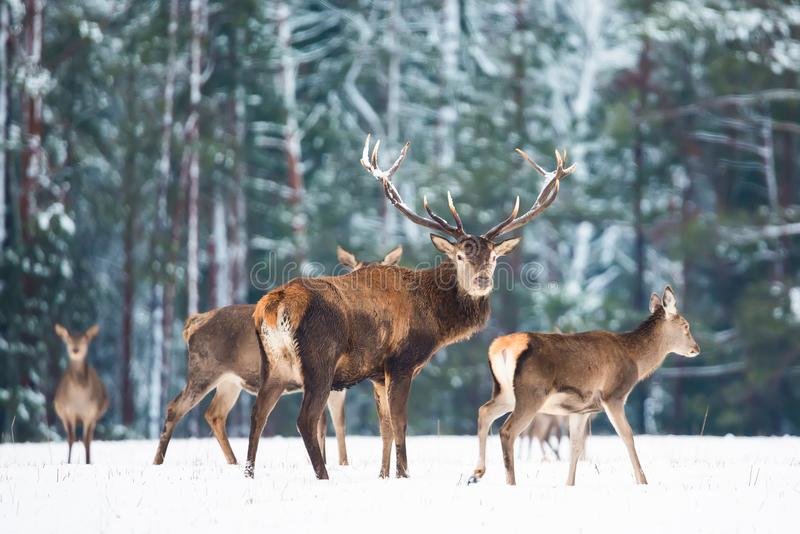 Winter wildlife landscape with noble deers Cervus Elaphus. Many deers in winter. Deer with large Horns with snow on the foreground stock photo