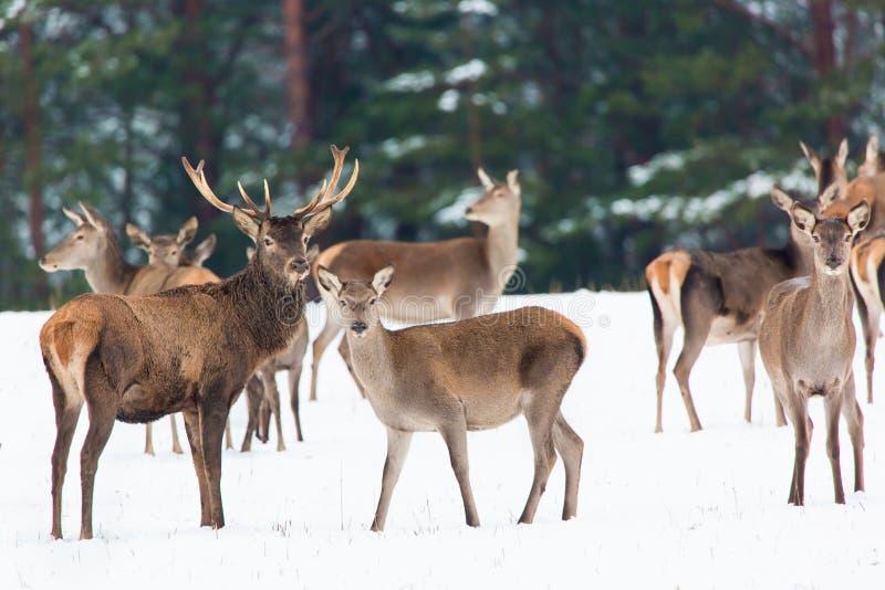 Winter wildlife landscape with noble deers Cervus Elaphus. Many deers in winter. Natural habitat. royalty free stock photography
