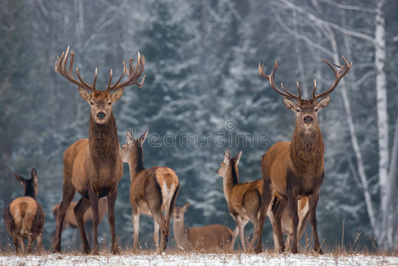 Winter Wildlife Landscape With Two Noble Deer.Noble Deer With Large Branched Horns On The Background Of A Snow-Covered Birch Fores royalty free stock photo