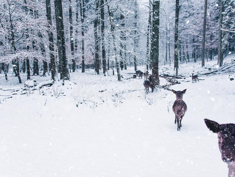 Winter wildlife landscape with young does. royalty free stock photo