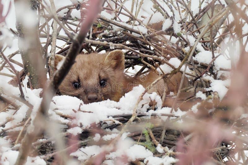 Winter wildlife scene,. Stone marten Martes foina royalty free stock image