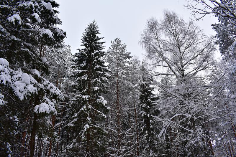 Winter will give winter forest snow shy look. Nature in winter is quiet and peaceful, sleeping comfortably royalty free stock image