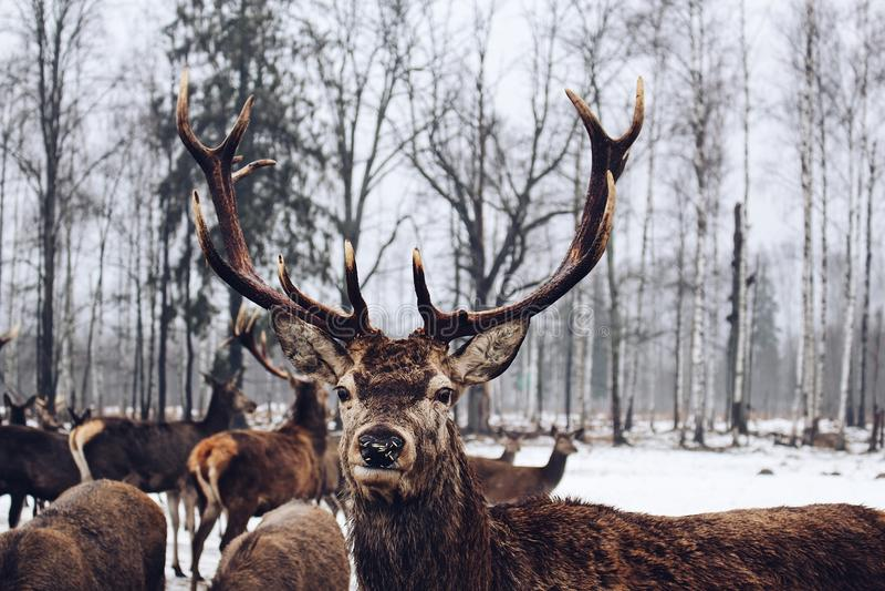 Winter wonderland deer animal posing forest nature birch tree natural wild life royalty free stock images