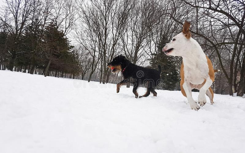 Winter wonderland. Dogs playing at snow. In the park royalty free stock images