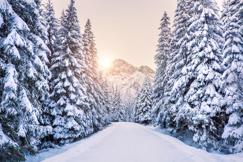 Winter forest in mountains at the sunrise. Footpath to mountain on snow covered spruce forest. Travel background. Vivid winter colors. Winter wonderland royalty free stock photo