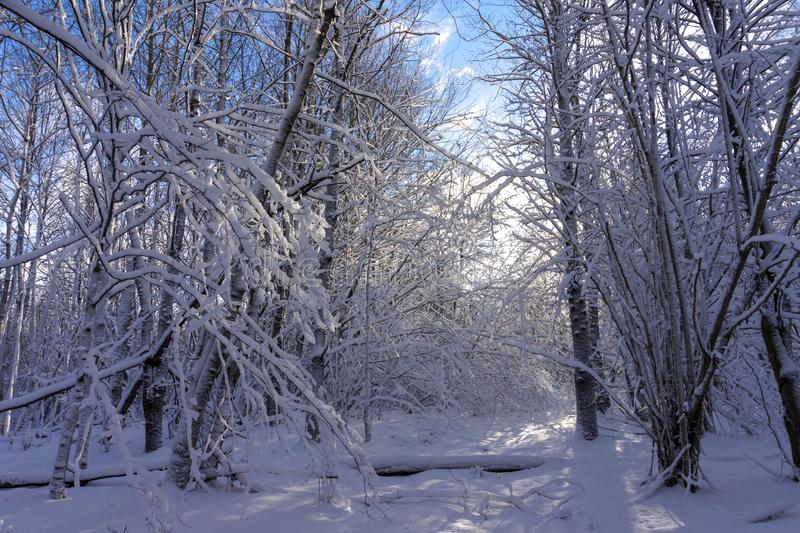 Winter wonderland with snow covered branches. On deciduous trees and a colorful dawn with soft pink clouds in a blue sky colored by the rising sun royalty free stock photos