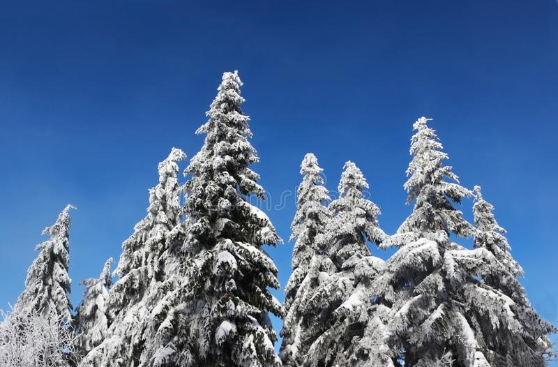 Winter wonderland with snow covered coniferous trees. And blue sky royalty free stock image