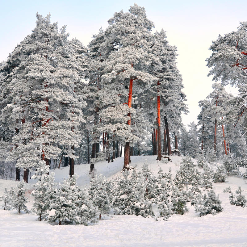 Winter wonderland in snow covered forest. Latvia stock images
